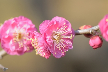 Macro details of Japanese Pink plum blossoms Stock Photo