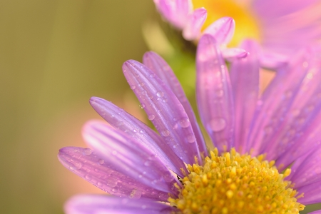 Macro texture of vibrant purple colored Daisy flower with water droplets