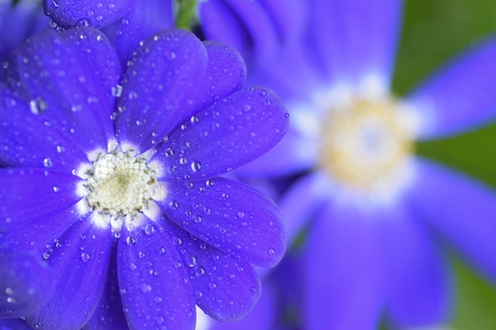 Macro texture of vibrant Blue colored Aster flower with water droplet Stock Photo