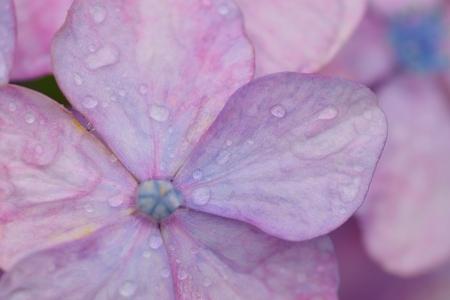 Macro textuur van paarse hortensia bloemen met waterdruppeltjes Stockfoto