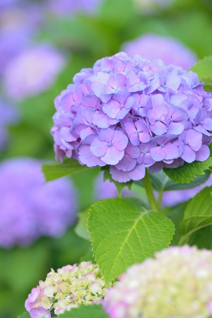 Macro details of blue hydrangea flowers in summer garden 스톡 콘텐츠