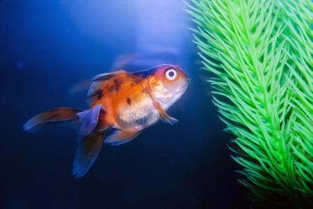 goldenfish: Gold fish in the aquarium Stock Photo