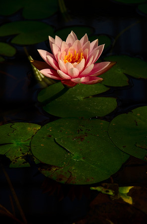 aquatic herb: Blooming water lilies