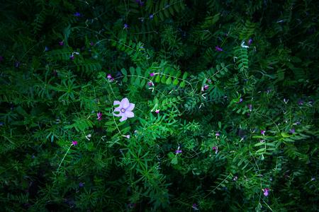 petites fleurs: Herbe routi�re petites fleurs