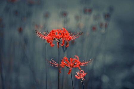 bud weed: Lycoris radiata Stock Photo