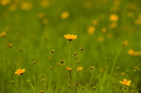 coronarium: Chrysanthemum flower Stock Photo