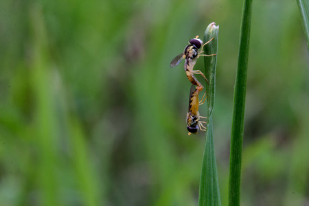 mating: Bee mating on grass