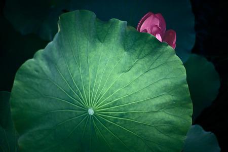 Lotus leaf Standard-Bild