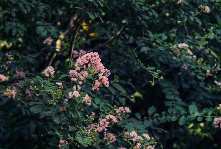 myrtle: Crape Myrtle flower Stock Photo