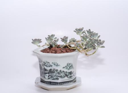 succulent: succulent plant