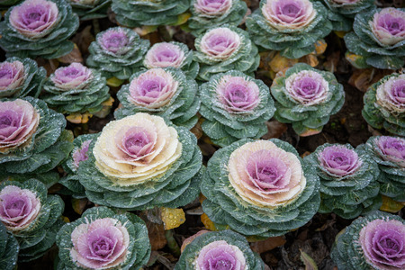 Kale blossoms in flower beds