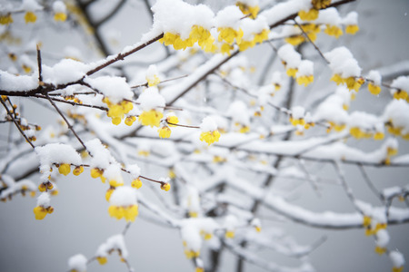 The blooming plum blossoms in the snow