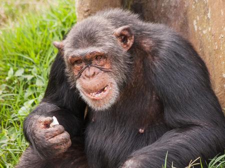 ngamba: Adult female chimpanzee seating back to tree and eating