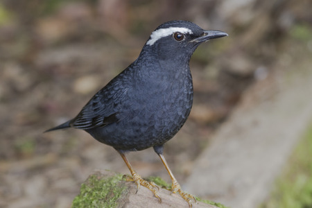 migrate: Male Siberian Thrush (Zoothera sibirica) in the forest