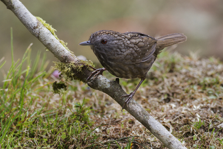 streaked: Streaked Wren Babbler (Napothera Macrodactyla) perched on the branch