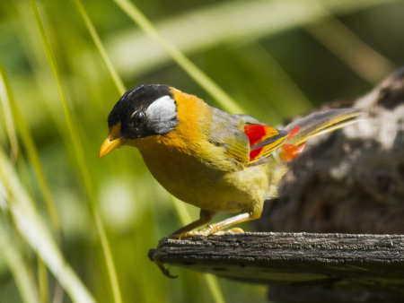 silver eared: Silver Eared Mesia perched on a wood with nature background