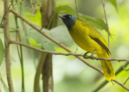 Black Headed Bulbul (Pycnonotus Atriceps) perching on the branch in natural background Stock Photo