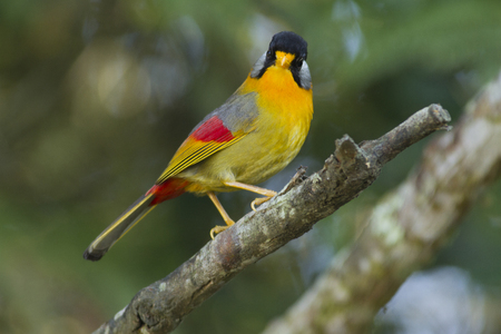 leiothrix argentauris: Male Silver Eared Mesia (Leiothrix Argentauris) perching with face facing infront