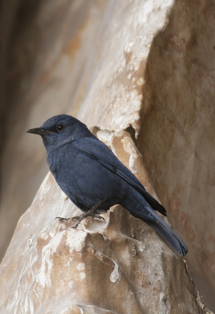 thrush: blue rock thrush (Monticola solitarius) standing on a rock Stock Photo