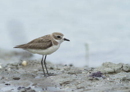 muddy: Greater Sand Plover (charadrius leschenaultii) standing on the muddy beach with white background