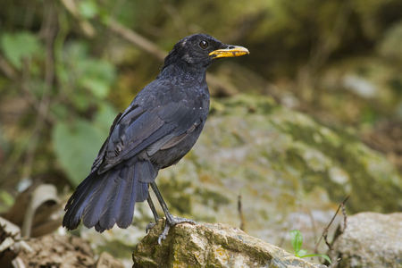 Blue Whistling Thrush (Myophonus robinsoni) perching on the rock with nature background