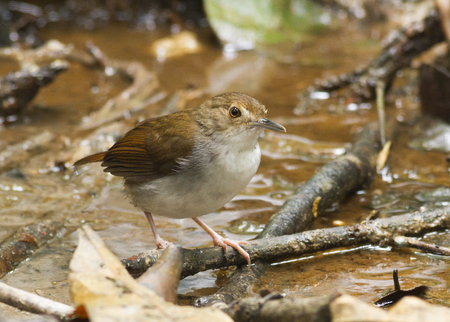 White Chested Babbler standing in the forest ground