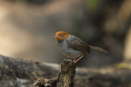 Ashy Tailorbird standing on the dead wood in the forest