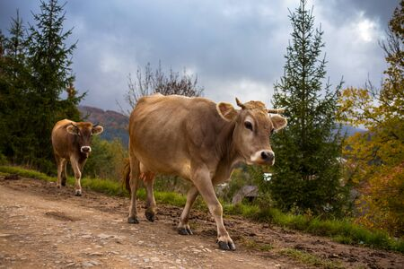 Cows go on a mountain road in Carpathian mountains Stock Photo