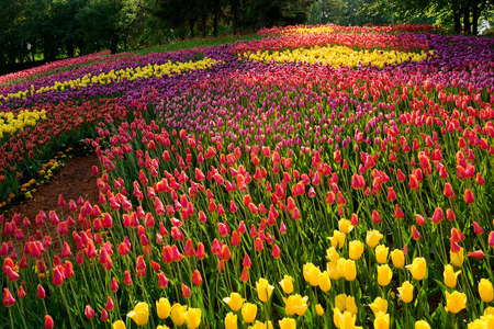 bright colors: Tulip variety planted in the form of patterns