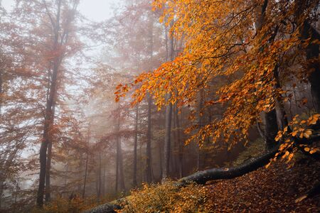 Magic forest in the fog at the top of the Carpathian Mountains