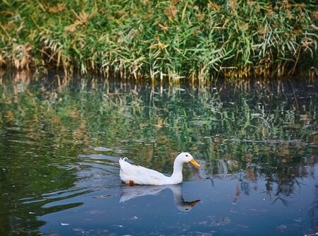 white duck swims in a pond against the background of a lump, lifestyle, walks in the park Stock Photo