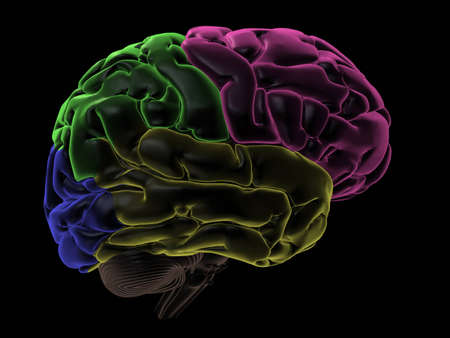 frontal lobe: 3D Render. Coloured areas of the Brain, right-side view