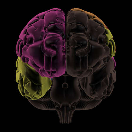 frontal lobe: 3D Render. Coloured areas of the Brain, front view