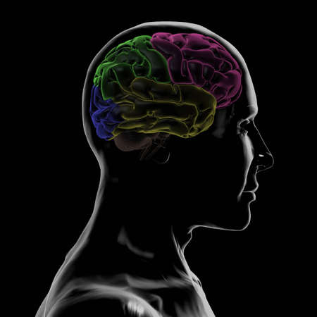 frontal lobe: See-Through Right-side of the Head and Brain Stock Photo