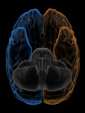frontal lobe: 3D Rendering  of the two Hemispheres of the brain bottom view. change hue to generate your own colours