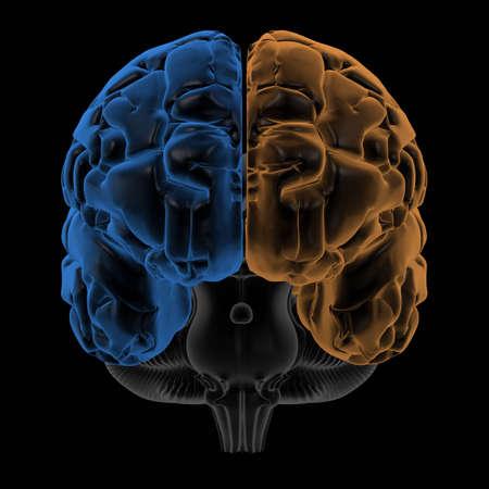 thalamus: Representaci�n 3D de los dos hemisferios de la vista frontal del cerebro. cambiar el tono para generar sus propios colores
