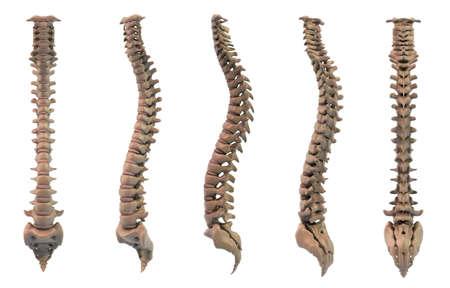 coccyx bone: Human Spine, five views