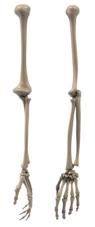humerus: Skeletal structure of the arm