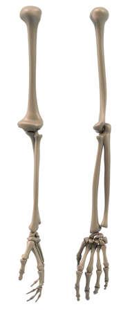 radius ulna: Skeletal structure of the arm