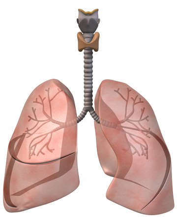 bronchioles: Lungs and Bronchi Front View
