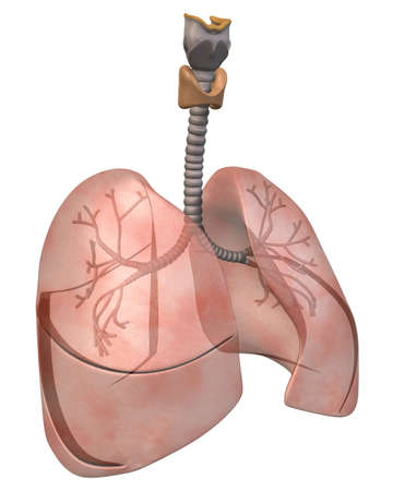bronchioles: Lungs and Bronchi Three_Quarter View