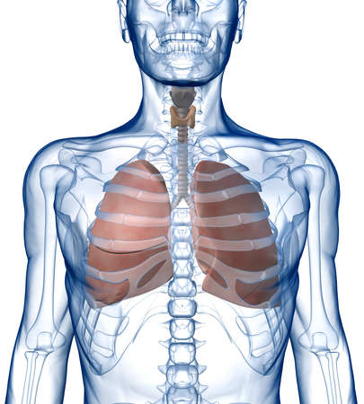 ribcage: Lungs in the Rib_Cage Front View
