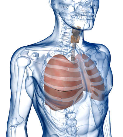 ribcage: Lungs in the Rib_Cage Three_Quarter View