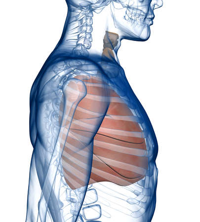 ribcage: Lungs in the Rib_Cage Side View