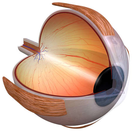 suspensory: Human eye diagram three quarter view