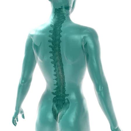 womens spine on white Stock Photo - 13854446