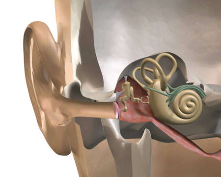 malleus: 3D rendering cross-section inner ear, front view