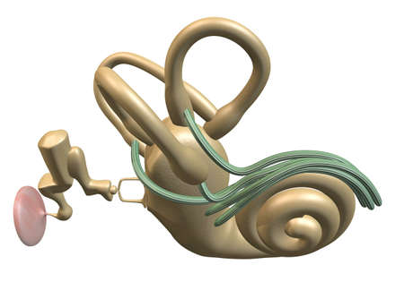 3D rendering of the inner ear, above view