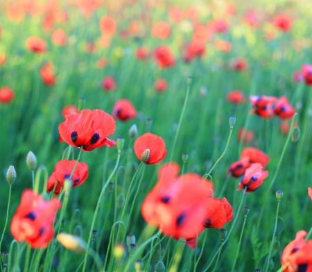 Red poppy field photo