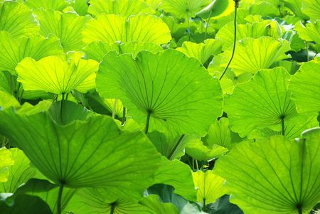 Lotus leaves in the sunshine